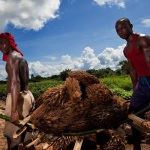 Trabajadores en una plantación de palma aceitera en Lokutu. (Foto: Feronia)